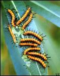 olenader-caterpillar-gregarious-ifas